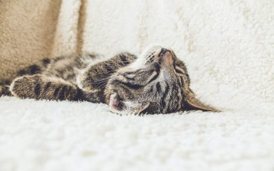 Le chat d'intérieur, comment le rendre heureux ?