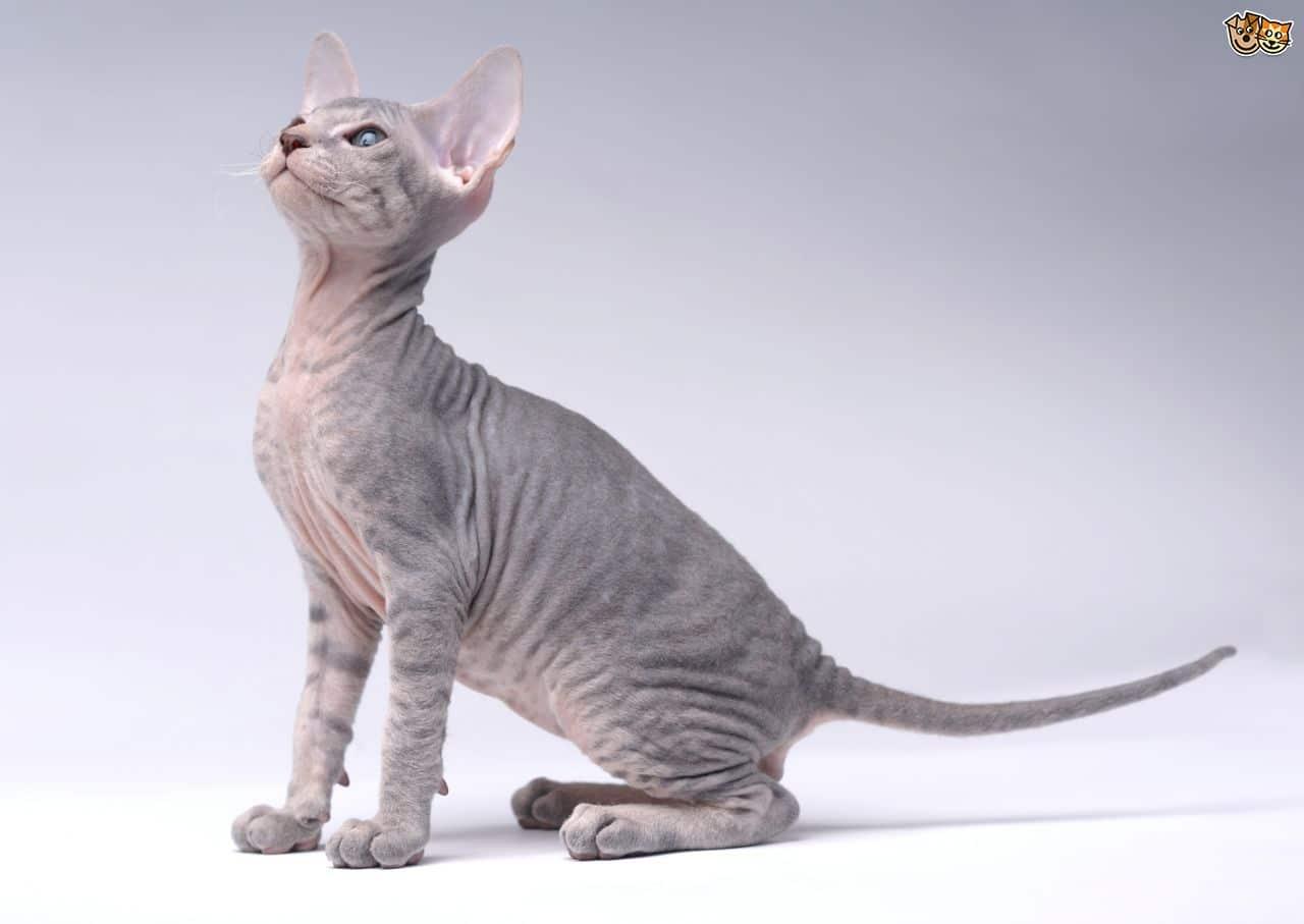 petite chatte sans poils