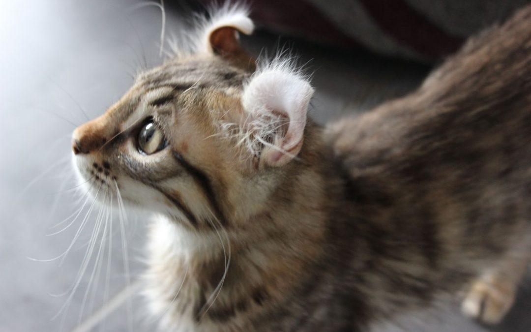 Quand et pourquoi stériliser son chat ? Combien cela coûte ?