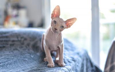 Les chats sans poil : 3 races en détail