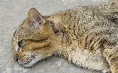 Quelle est la durée de vie d'un chat ? quel est le plus vieux ?