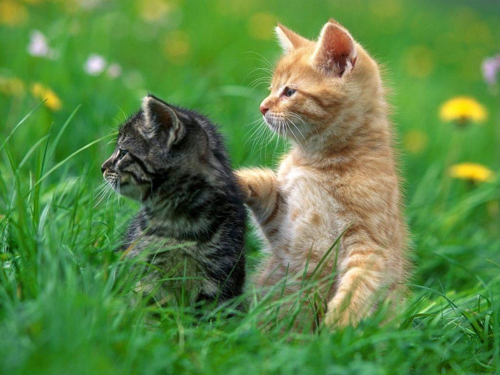 4637-deux-chatons-wallfizz