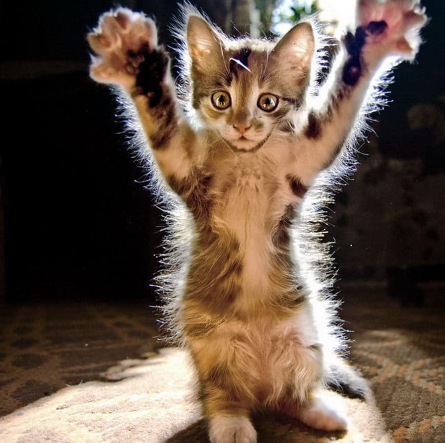 chaton-haut-les-pattes