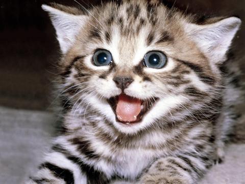 miaulement chat