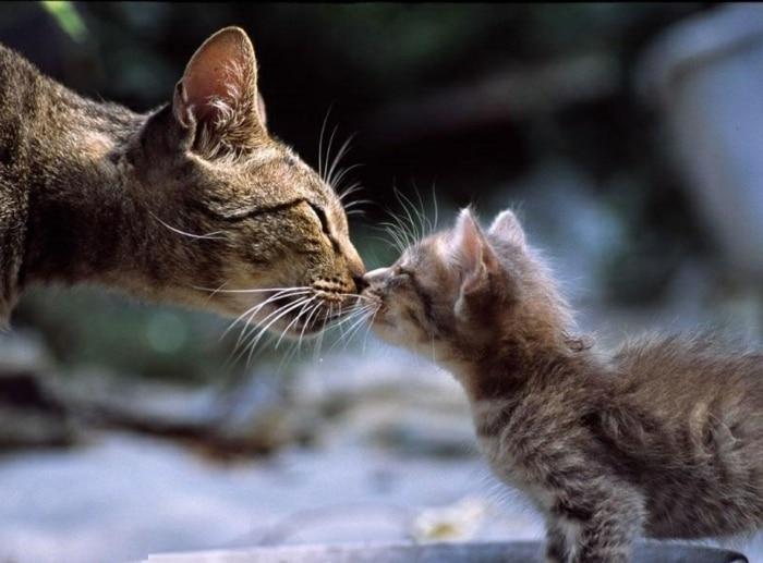 chouettes-chatons-trop-mignons-les-photo-de-chat-amour-maman-bebe