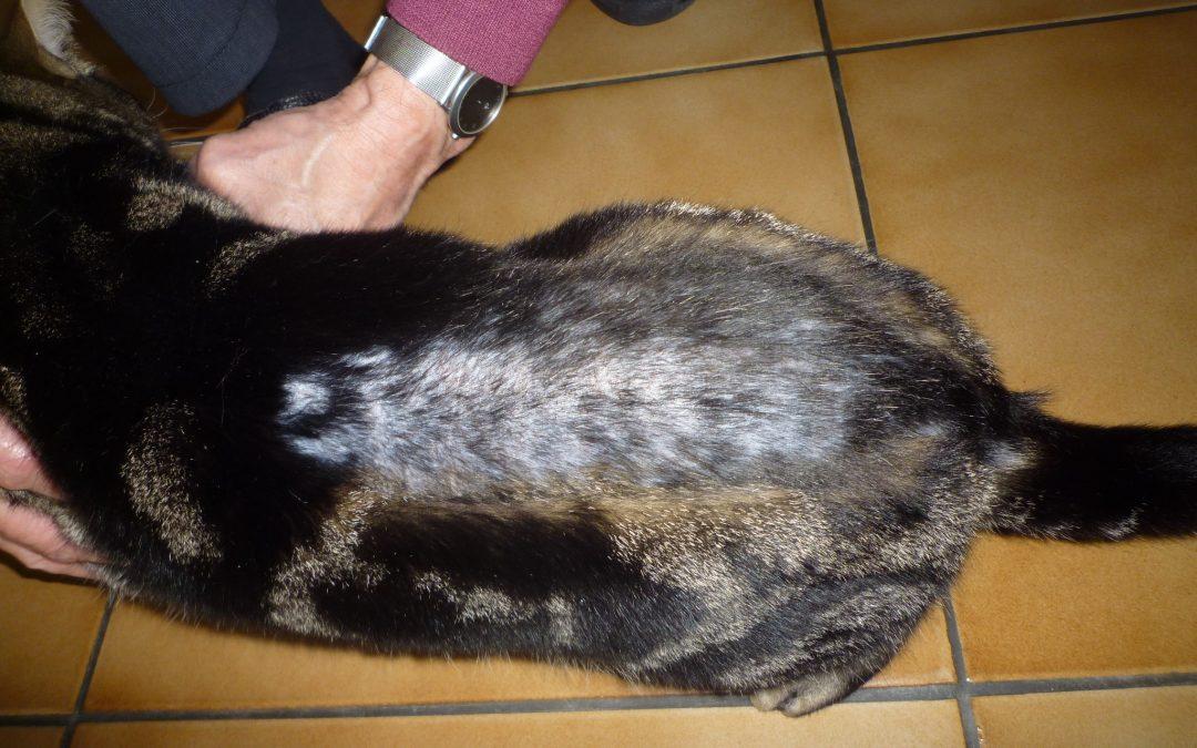Pelade du chat ou perte de poils, que faut il faire?