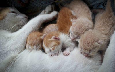 Gestation et accouchement du chat, toutes les informations !