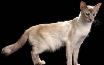Le chat hypoallergénique existe t-il?