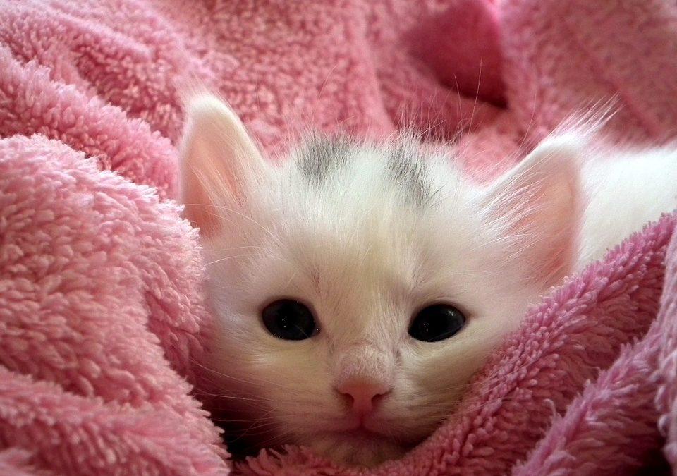 Offrez un jouet à votre chaton ?