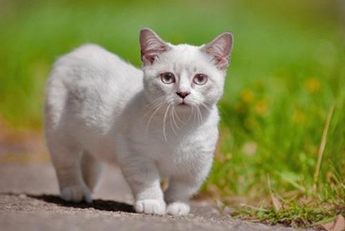 Connaissez-vous Le chat nain ?