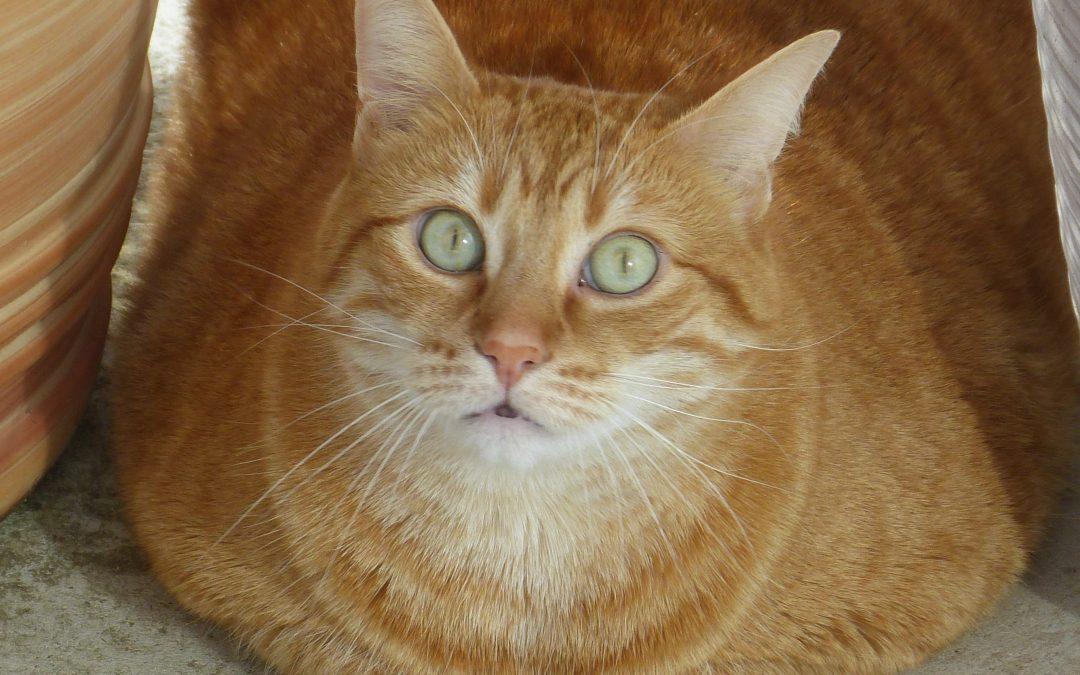 Mon chat est obèse, que faire ?