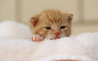 Quelle alimentation pour le chaton d'un mois, deux mois?