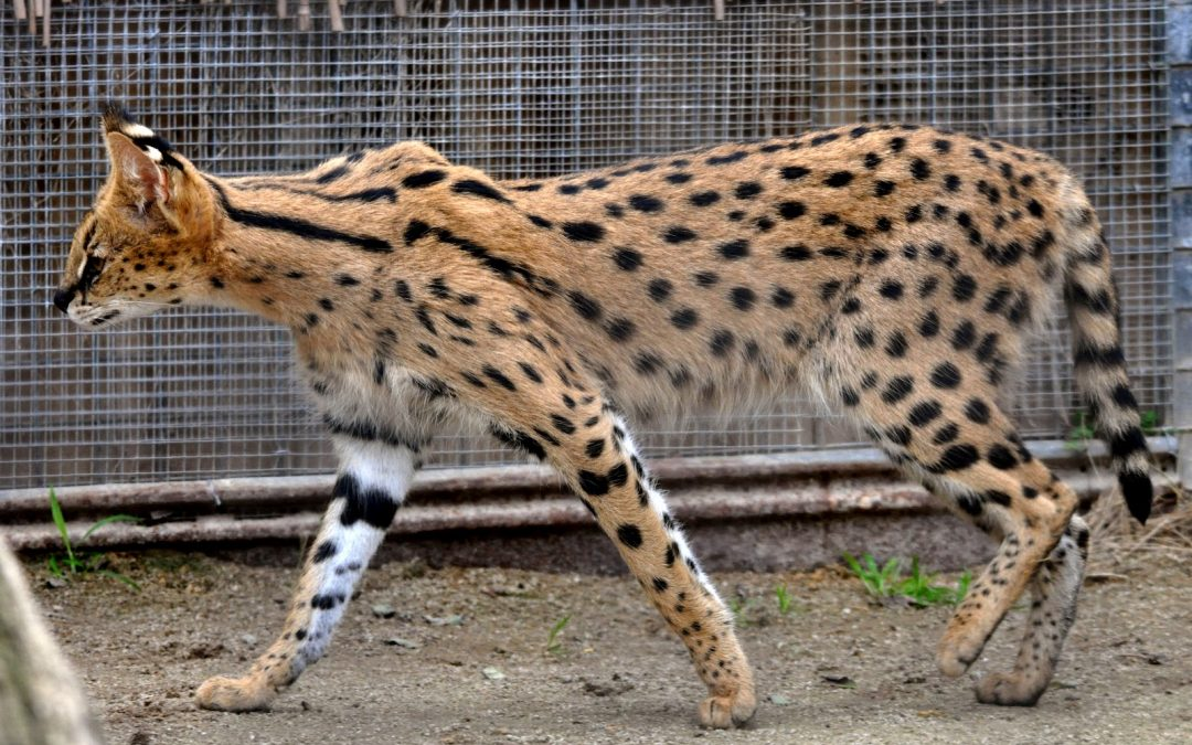Le chat Savannah, une nouvelle race de chat impressionnante!
