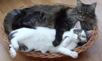 Le panier pour chat : un beau cadeau à lui offrir