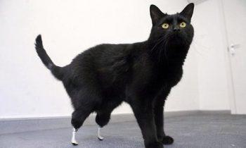 Oscar, le chat bionique!