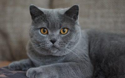 Un chat d'exellence: le charteux!
