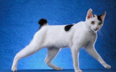 Le chat bobtail japonais