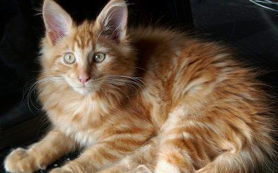 Voici quelques records battus par des chats dans le livre Guinness Word