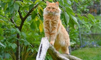 Les races de chats de grande taille!