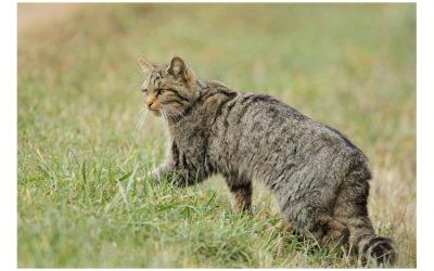 Pourquoi acheter un tracer GPS pour chat?
