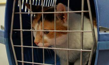 Transport pour chat : comment entretenir la cage, la caisse et le sac ?