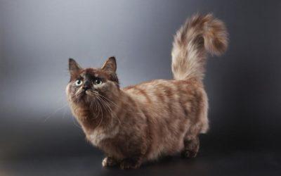 Le chat Munchkin, une race de chat qui reste petit!