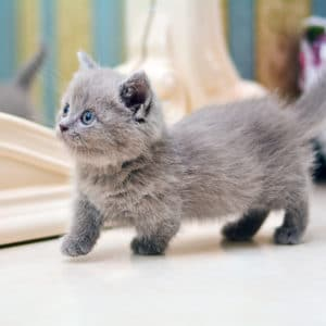 race de chat munchkin