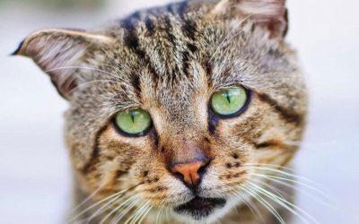 Comprendre le miaulement du chat et sa signification
